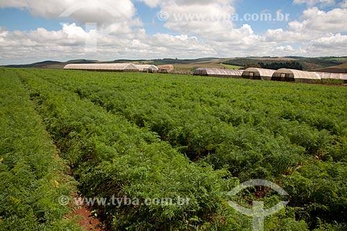 Assunto: Plantação de cenouras em Estação de Pesquisa e Melhoramento Genético / Local: Carandaí - Minas Gerais (MG) - Brasil / Data: 03/2012