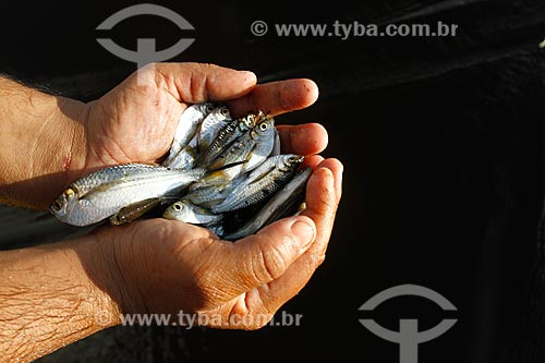 Assunto: Pescador com alevinos de sardinha de água doce / Local: Autazes - Amazonas (AM) - Brasil / Data: 05/2010