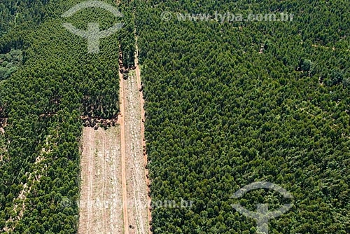 Assunto: Eucalítos na fazenda da Melhoramentos Papéis / Local: Caieiras - São Paulo (SP) - Brasil / Data: 02/2013