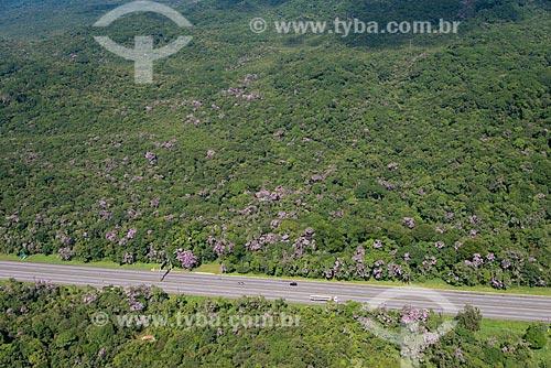 Assunto: Manacá (Tibouchina mutabilis) às margens da Via Anchieta (SP-150) / Local: São Bernardo do Campo - São Paulo (SP) - Brasil / Data: 02/2013