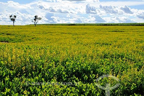 Assunto: Plantação de Crotalária (Crotalária juncea) / Local: Onda Verde - São Paulo (SP) - Brasil / Data: 02/2013