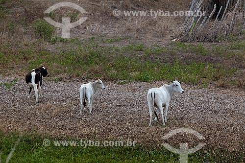 Assunto: Gado pastando no entorno do Açude da Fazenda Chaves no KM 96 da Rodovia BR-230 / Local: Gurinhém - Paraíba (PB) - Brasil / Data: 02/2013