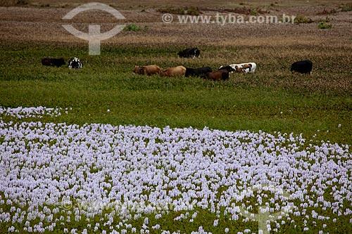 Assunto: Vegetação aquática conhecida como aguapé no Açude da Fazenda Chaves no KM 96 da Rodovia BR-230 / Local: Gurinhém - Paraíba (PB) - Brasil / Data: 02/2013