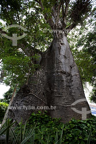 Assunto: Árvore Baobá (Adansonia) / Local: Casa Forte - Recife - Pernambuco (PE) - Brasil / Data: 02/2013