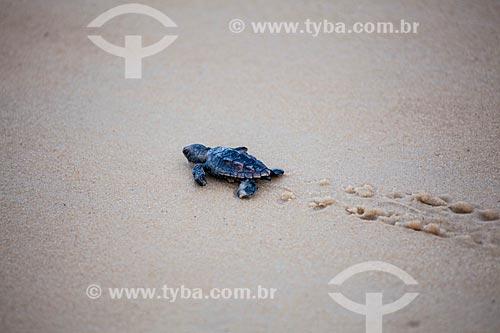 Tartaruga-de-Pente (Eretmochelys imbricata) - desova controlada pelo Projeto Tamar e assistida por turistas na Praia do Madeiro  - Tibau do Sul - Rio Grande do Norte - Brasil