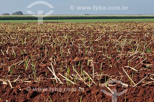 Assunto: Plantação de cana-de-açúcar / Local: Guaíra - São Paulo (SP) - Brasil / Data: 03/2013
