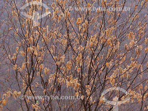 Assunto: Árvore com folhas secas no Sertão do Ceará / Local: Quixadá - Ceará (CE) - Brasil / Data: 04/2013
