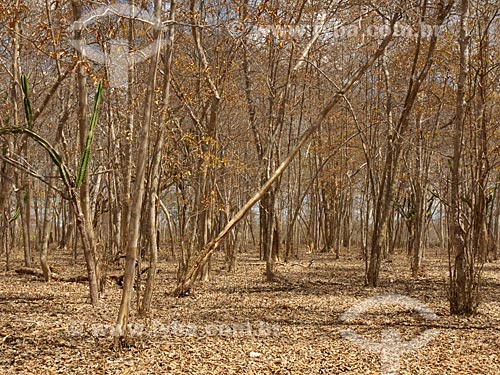 Assunto: Mandacarú (Cereus jamacaru) em meio a vegetação seca / Local: Daniel de Queiróz - Quixadá - Ceará (CE) - Brasil / Data: 04/2013