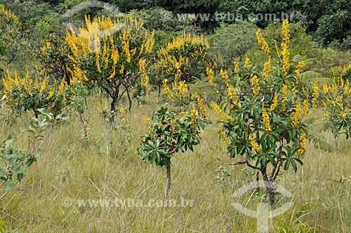Assunto: Murici-mirim (Byrsonima intermedia), também conhecido como Murici-do-campo / Local: Delfinópolis - Minas Gerais (MG) - Brasil / Data: 03/2013