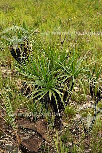 Assunto: Canela-de-ema, vegetação do Cerrado na Serra da Canastra / Local: Delfinópolis - Minas Gerais (MG) - Brasil / Data: 03/2013
