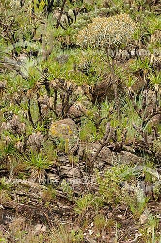 Assunto: Vegetação típica do cerrado na Serra da Canastra / Local: Delfinópolis - Minas Gerais (MG) - Brasil / Data: 03/2013