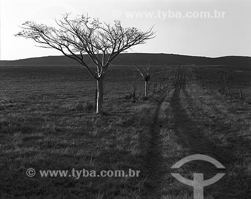 Assunto: Timboúva (Enterolobium contortisiliquum) - também conhecida como Timbaúva - na Fazenda Zumbi / Local: Arroio dos Ratos - Rio Grande do Sul (RS) - Brasil / Data: 1986