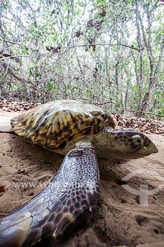 Assunto: Protótipos com finalidade didática da Tartaruga-de-Pente (Eretmochelys imbricata) no Museu do Santuário Ecológico de Pipa / Local: Tibau do Sul - Rio Grande do Norte (RN) - Brasil / Data: 03/2013