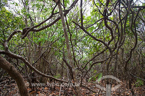 Assunto: Vegetação onde cohabitam, entre outros, o cipó, angélica, pau-ferro, no Santuário Ecológico de Pipa / Local: Tibau do Sul - Rio Grande do Norte (RN) - Brasil / Data: 03/2013