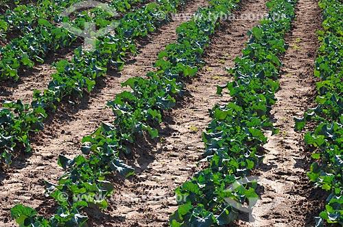 Assunto: Plantação de brócolis / Local: São José do Rio Preto - São Paulo (SP) - Brasil / Data: 05/2013