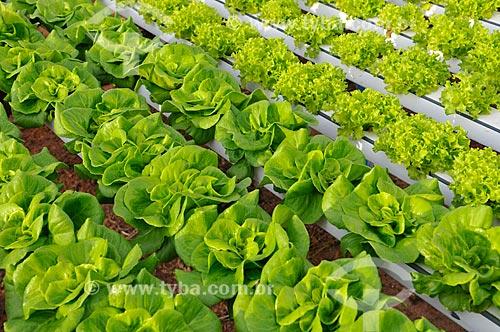 Assunto: Plantação de Alface Salanova e Alface Salanova Crespa com a técnica hidropônica / Local: São José do Rio Preto - São Paulo (SP) - Brasil / Data: 05/2013