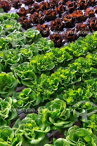 Assunto: Plantação de Alface Salanova e Alface Salanova Roxa com a técnica hidropônica / Local: São José do Rio Preto - São Paulo (SP) - Brasil / Data: 05/2013
