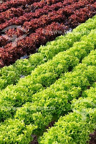 Assunto: Plantação de Alface Salanova Crespa e Alface Salanova Crespa Roxa com a técnica hidropônica / Local: São José do Rio Preto - São Paulo (SP) - Brasil / Data: 05/2013