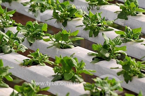 Assunto: Plantação de espinafre com a técnica hidropônica / Local: São José do Rio Preto - São Paulo (SP) - Brasil / Data: 05/2013
