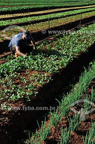 Trabalhador rural na plantação de rúcula  - São José do Rio Preto - São Paulo - Brasil