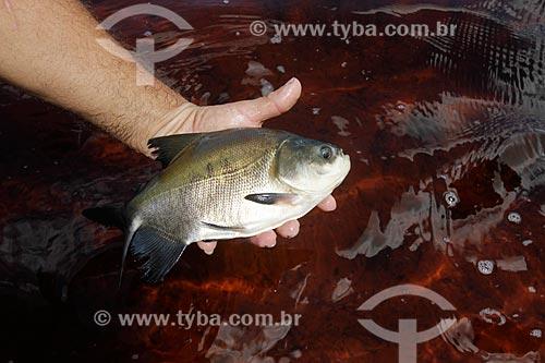 Assunto: Pescador segurando alevino de tambaqui, tradicional peixe da região amazônica / Local: Amazonas (AM) - Brasil  / Data: 04/2013