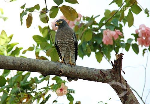 Assunto: Gavião Carijó (Rupornis magnirostris) / Local: Parintins - Amazonas (AM) - Brasil / Data: 06/2013