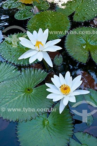 Assunto: Lírio dágua (Nymphaea alba) no Jardim Botânico / Local: Jardim Botânico - Rio de Janeiro (RJ) - Brasil / Data: 06/2013