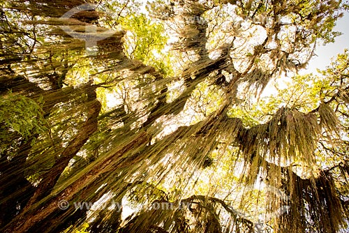 Assunto: Salgueiro-chorão (Salix babylonica) também conhecido como salso-chorão / Local: Paquetá - Rio de Janeiro (RJ) - Brasil / Data: 04/2013