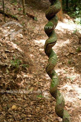 Cipó de Jagube (Banisteriopsis caapi) na Reserva Ecológica de Guapiaçu  - Cachoeiras de Macacu - Rio de Janeiro - Brasil