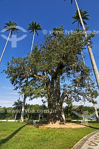 Assunto: Baobá (Adansonia) na entrada do Museu Casa de Quissamã - antiga residência do Visconde de Araruama / Local: Quissamã - Rio de Janeiro (RJ) - Brasil / Data: 06/2013