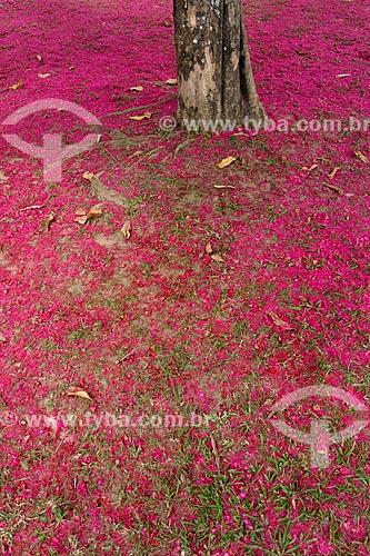 Assunto: Flores de Jambo (Syzygium jambos) no chão / Local: Flamengo - Rio de Janeiro (RJ) - Brasil / Data: 04/2013