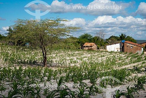 Pequena plantação de milho, atacada por lagarta por falta de chuva - Terra Indigena Kapinawá na Aldeia ou comunidade do Colorau - Imagem licenciada -  ACRÉSCIMO DE 100% SOBRE O VALOR DE TABELA  - Buíque - Pernambuco - Brasil