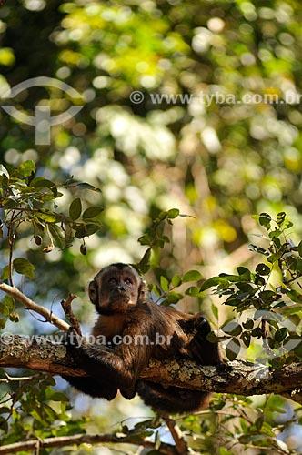 Assunto: Macaco Prego em mata nativa  / Local: Sales - São Paulo (SP) - Brasil / Data: 08/2013