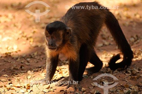 Assunto: Macaco Prego / Local: Sales - São Paulo (SP) - Brasil / Data: 08/2013