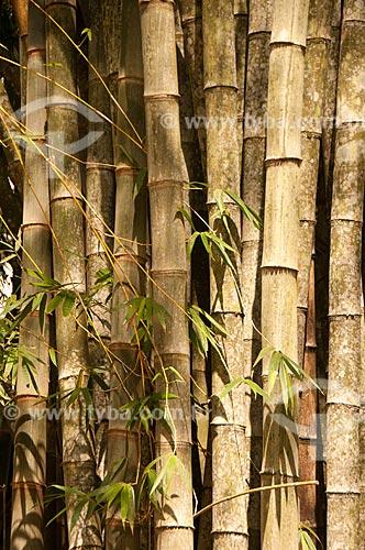 Assunto: Detalhe de Bambu-gigante (Dendrocalamus giganteus) no Jardim Botânico do Rio de Janeiro / Local: Jardim Botânico - Rio de Janeiro (RJ) - Brasil / Data: 08/2011