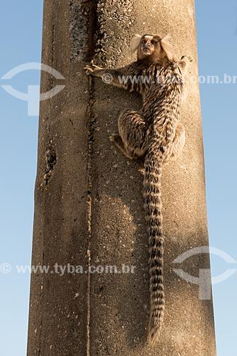 Assunto: Sagüi-de-tufos-brancos (Callithrix jacchus) na trilha do Forte Duque de Caxias - também conhecido como Forte do Leme / Local: Leme - Rio de Janeiro (RJ) - Brasil / Data: 07/2013