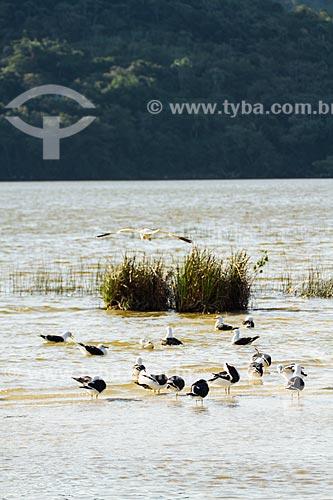 Assunto: Gaivotas na Lagoa do Peri / Local: Florianópolis - Santa Catarina (SC) - Brasil / Data: 08/2013