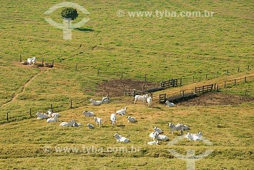 Assunto: Vista aérea de rebanho de gado / Local: Barretos - São Paulo (SP) - Brasil / Data: 05/2013