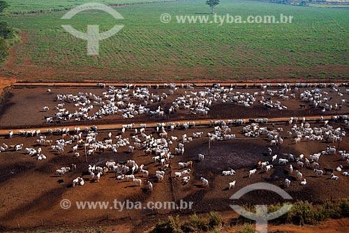 Assunto: Vista aérea do rebanho de gado confinado / Local: Barretos - São Paulo (SP) - Brasil / Data: 05/2013
