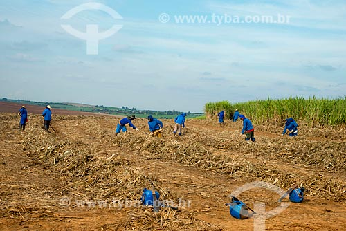 Assunto: Trabalhadores rurais enleirando a palhada da cana-de-açúcar / Local: Piracicaba - São Paulo (SP) - Brasil / Data: 05/2013