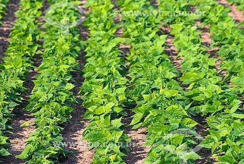 Assunto: Mudas em plantação de feijão / Local: Luís Eduardo Magalhães - Bahia (BA) - Brasil / Data: 07/2013