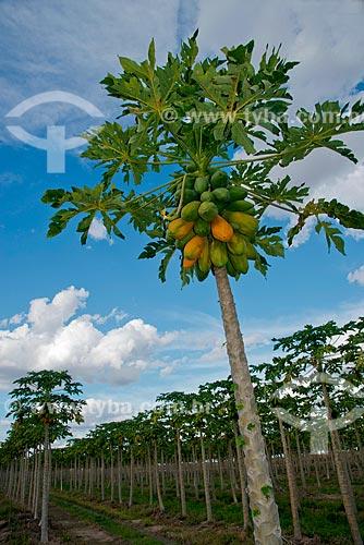 Assunto: Plantação de mamão com fruto ainda no mamoeiro / Local: Luís Eduardo Magalhães - Bahia (BA) - Brasil / Data: 07/2013