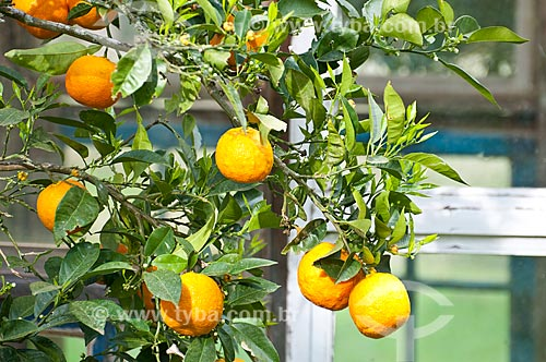 Assunto: Detalhe de laranja ainda na laranjeira / Local: Campos de Cima da Serra - Rio Grande do Sul (RS) - Brasil / Data: 09/2013