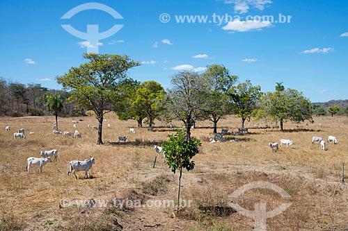 Assunto: Gado nelore no pasto / Local: Cristalândia do Piauí - Piauí (PI) - Brasil / Data: 07/2013