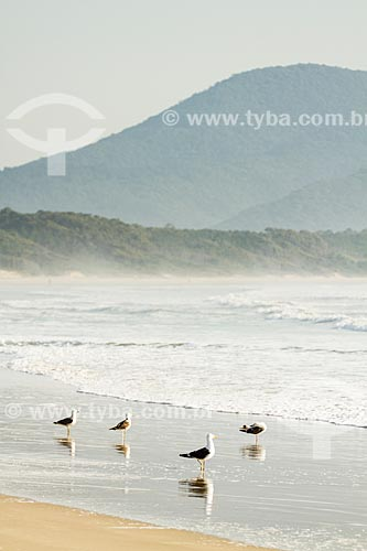 Assunto: Gaivotas na Praia da Barra da Lagoa / Local: Florianópolis - Santa Catarina (SC) - Brasil / Data: 08/2013