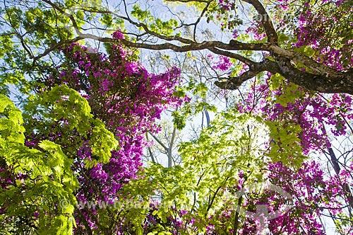 Assunto: Sempre-lustrosa (Bougainvillea spectabilis) florida / Local: Araxá - Minas Gerais (MG) - Brasil / Data: 07/2013