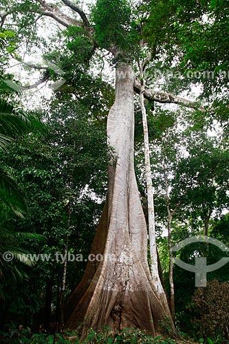 Assunto: Árvore Samaúma (Ceiba pentandra) localizada na beira do Rio Ariaú / Local: Amazonas (AM) - Brasil / Data: 09/2013