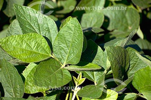 Assunto: Plantação de soja transgênica na zona rural de Cascavel / Local: Cascavel - Paraná (PR) - Brasil / Data: 01/2013