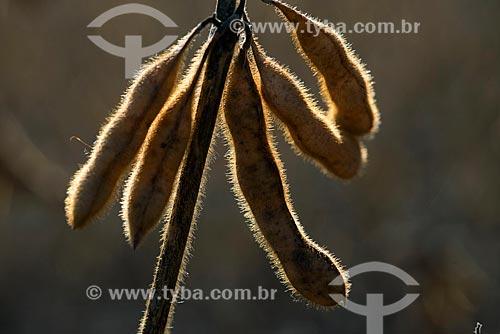 Assunto: Detalhe de vagens de soja em plantação transgênica na zona rural de Palotina / Local: Palotina - Paraná (PR) - Brasil / Data: 01/2013