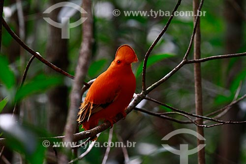 Assunto: Galo da Serra (Rupicola rupicola) / Local: Amazonas (AM) - Brasil / Data: 10/2013